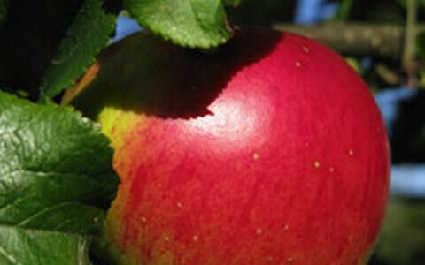 Mis toob rohkem tulu? Õunapuu või maarjakask? Postimees/Scanpix