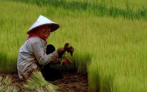 Kambodža riisikasvataja.