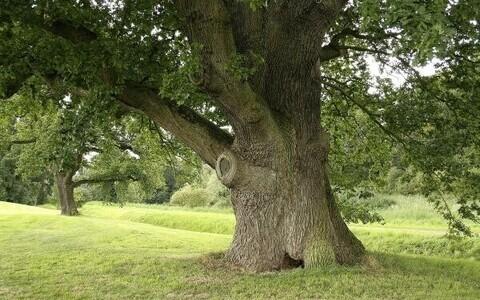 Puud kasvatavad toitainete kättesaamist hõlbustavaid baktereid