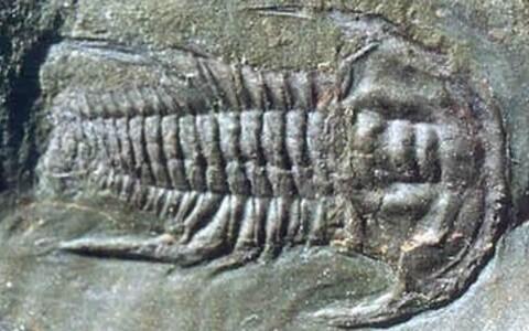 Trilobiit <i>Emuella polymera</i> varakambriumist.