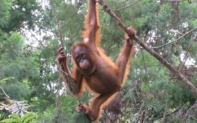 Orangutanide genoomi mitmekesisus üllatas teadlasi.