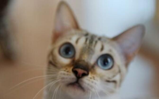 Allergia ei ole tulevikus enam takistuseks endale lemmikloomaks kassi valida.