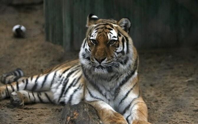 A Siberian tiger in Tallinn Zoo