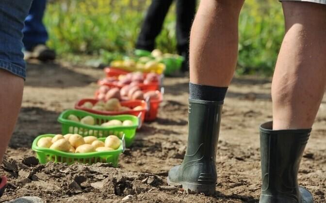 Более половины урожая картофеля еще предстоит убрать.
