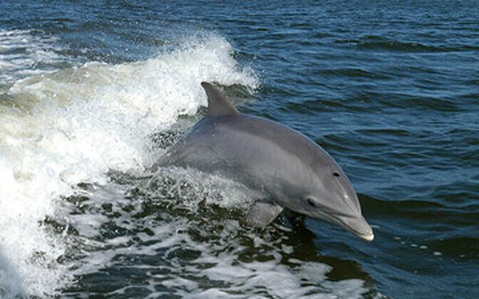 Tavaliselt on silmikdelfiinid päris kiired ujujad.