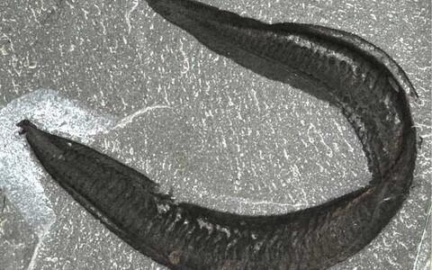 Inimese varaseim esivanem sarnanes angerjale