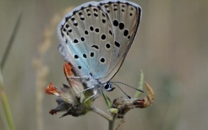 Sinilibliklased on üks liigirikkaim niiduliblikate rühm. Nõmme tähniksinitiib (pildil) on üks väheseid liike, kes raiesmikel hakkama ei saa.