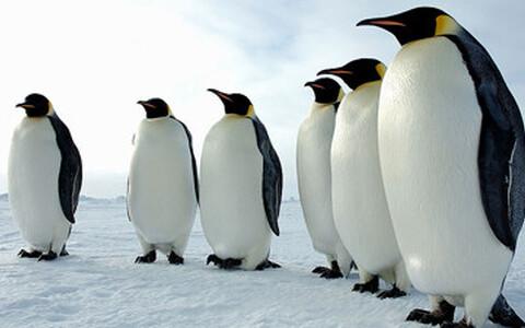 Pingviinid reas.