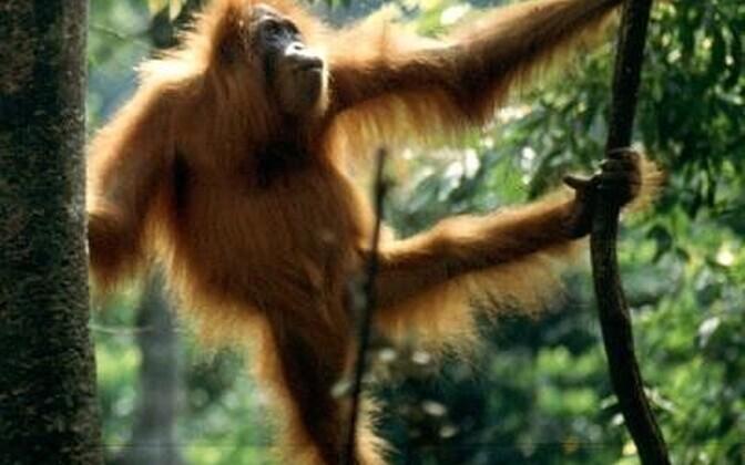 Isased orangutanid pikendavad lapsepõlve