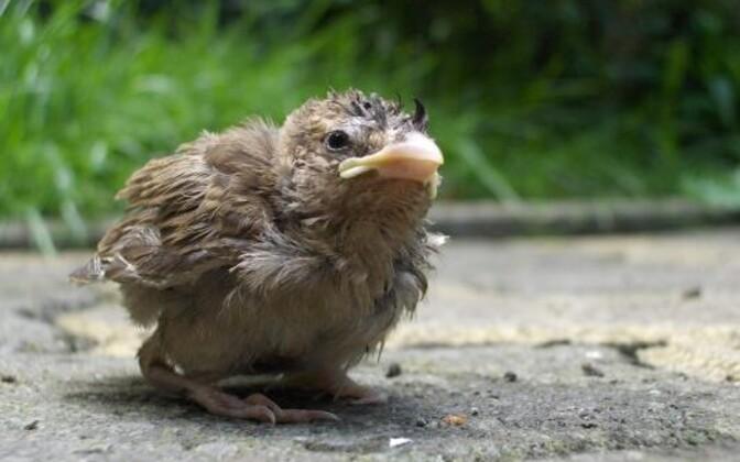 Linnud on lapseeas saurused: evolutsioon või lihtsalt kujundlik mõtlemine.