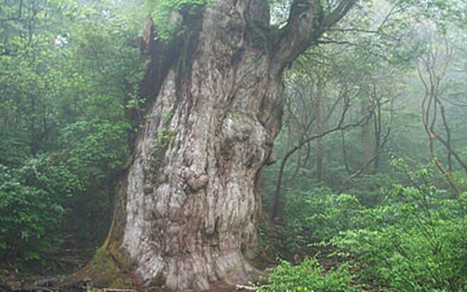 Jaapani seedripuud paljastavad mineviku saladusi.