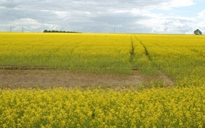 A rape field in full bloom
