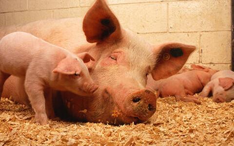 Antibiootikumid soodustavad loomade rasvumist.