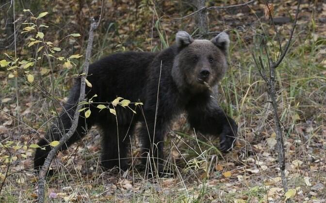 Медведь бродил около стадиона в Кунда. Иллюстративное фото.