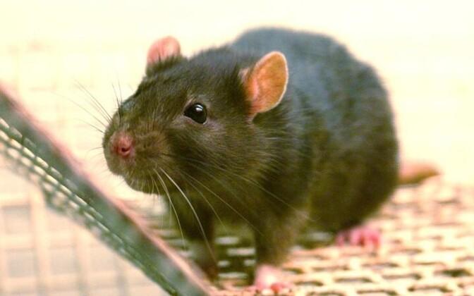 Pildil olev rott pole juhtumiga seotud.