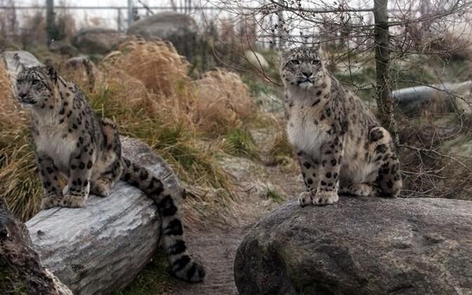 Tallinna loomaaia lumeleopardid.