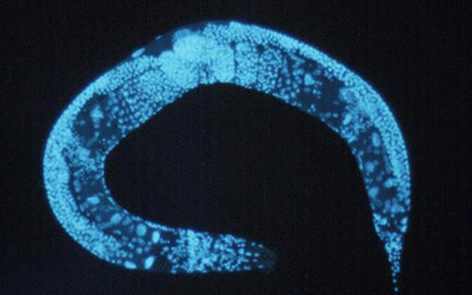 Caenorhabditis elegans.