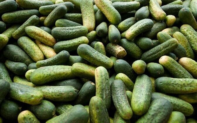 Aastaringselt kasvatavad Eestis värsket kurki Grüne Fee ja Peipsi aiand