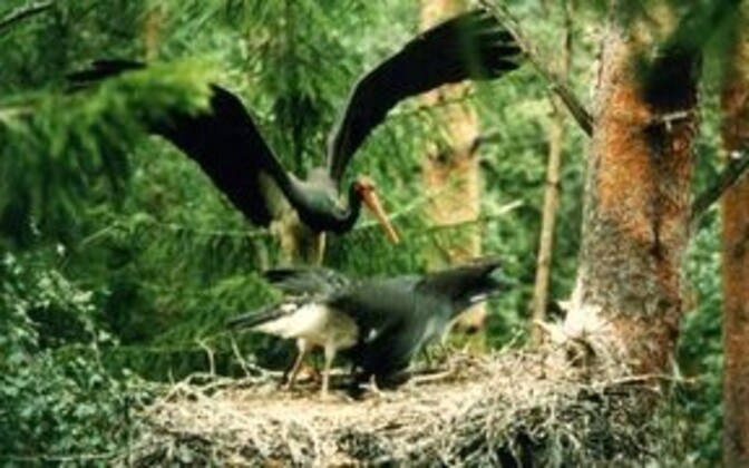 Black storks (Ciconia nigra) are under category I protection in Estonia.