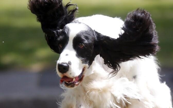 Aivo Sihvarti abiga on paljud koerad taas liikuma hakanud