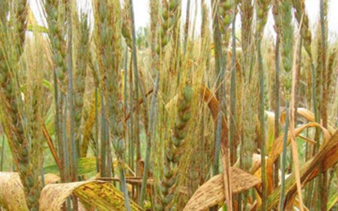 Kahjustatud nisupõld Keenias.