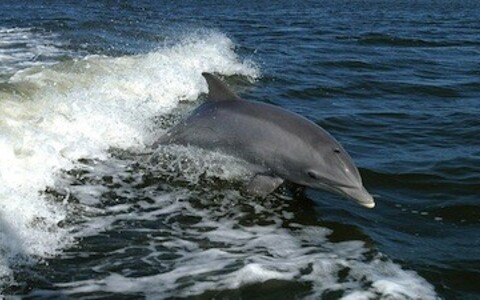 Silmikdelfiin (Tursiops truncatus).