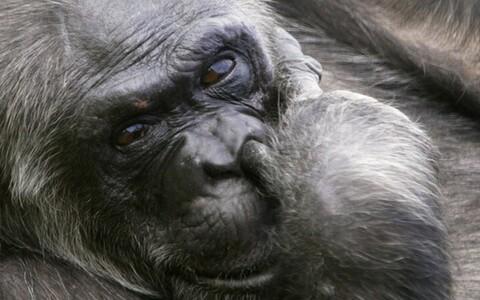 Šimpansitele ei meeldi petturid