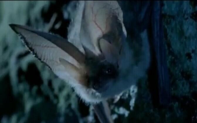 Pikakõrvaline nahkhiir