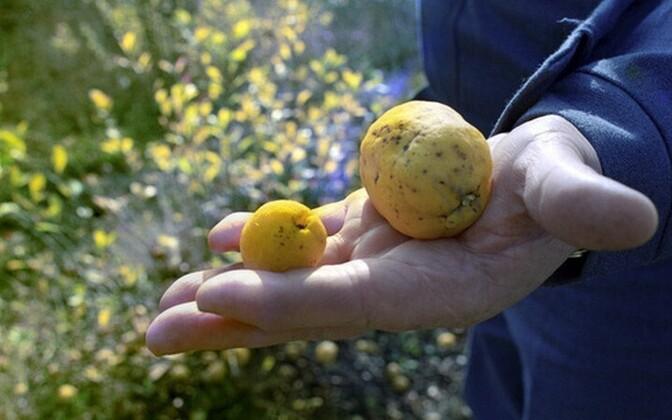 Kohalik võrdleb Tšernobõlis kasvanud puuvilja (paremal) tavalisega (vasakul)