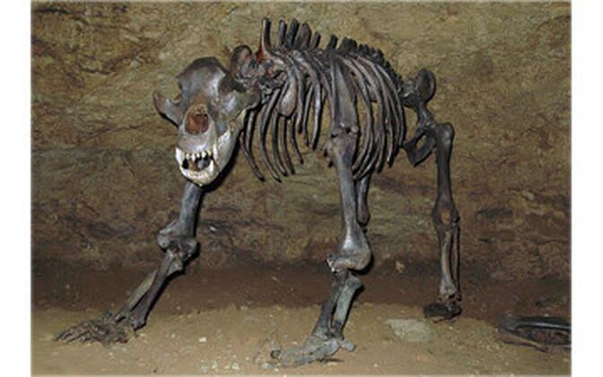 Koopakaru skelett.
