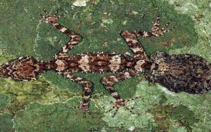 Austraaliast avastatud geko.