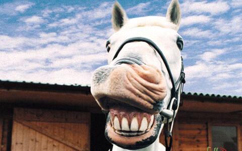 Hobune naerab