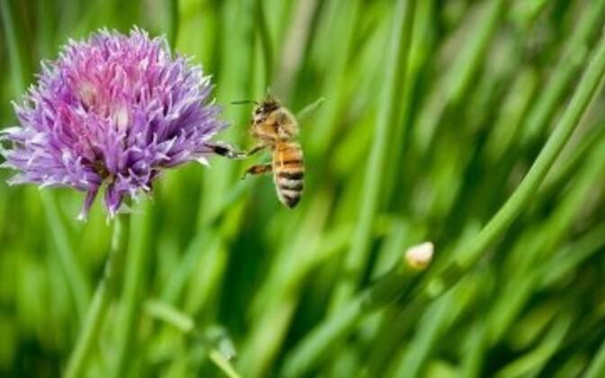 Mesilastele mürgised pestitsiidid ohustavad ka inimesi.