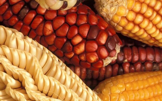 EL ei taha oma nõudeid GMO-le leevendada.