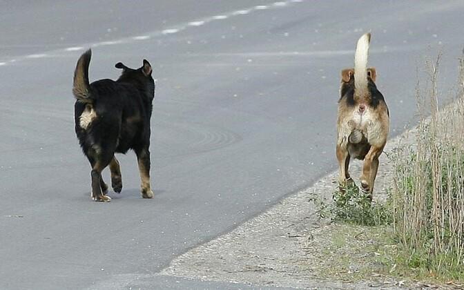 Koerad hulkumas