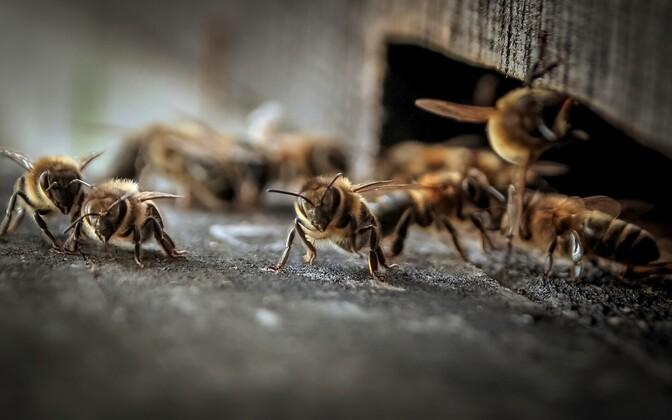 Maaülikooli teadlased leidsid Eesti mesilastarudest erinevate taimekaitsevahendite jääke.