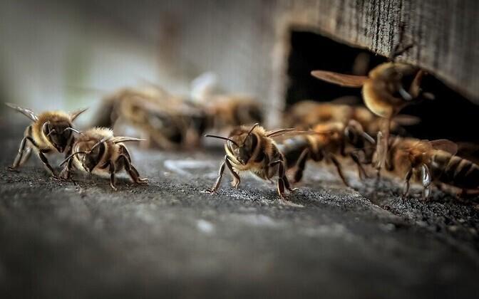 Rapsipõldude suur osakaal võib ahelreaktsioonina põhjustada mesilaste väljasuremist.