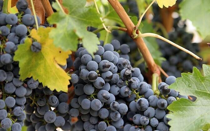 Resveratrooli leidub rohkelt punastes viinamarjades