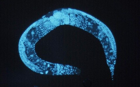 C. elegans.