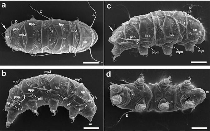 Mopsechiniscus franciscae.