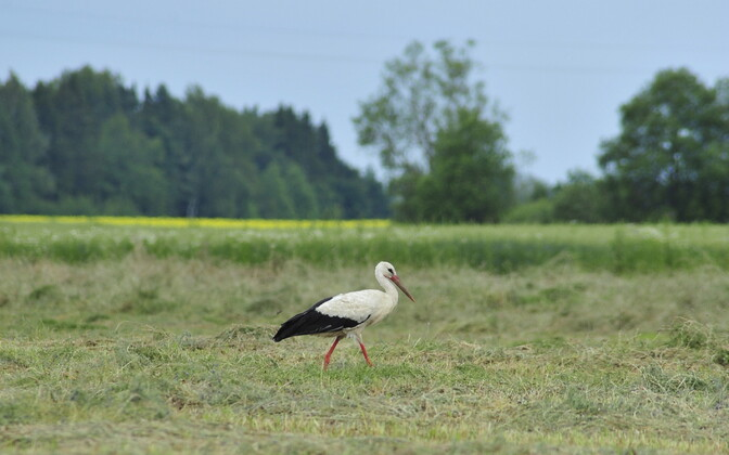 Stork. Image is illustrative.