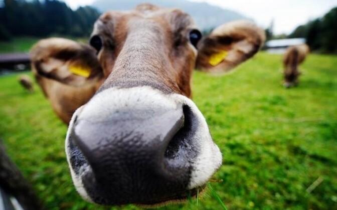 Коровы. Иллюстративная фотография