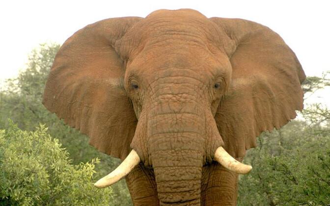 Changilaks kutsutud elevant enne salaküttide ohvriks langemist