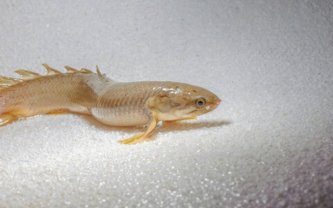Polypterus senegalus.