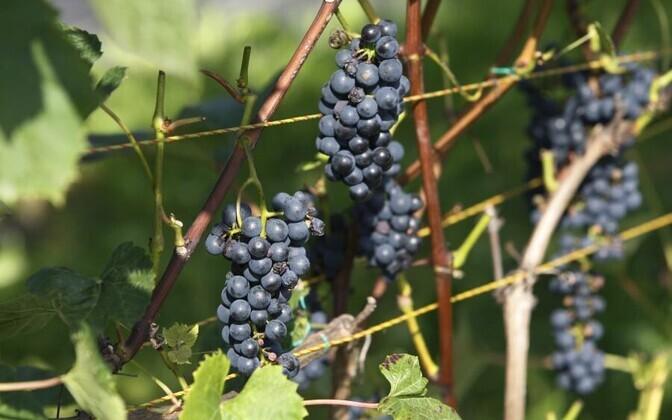 Eestis kasvanud viinamarjad.