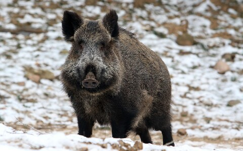 Wild boar (image is illustrative).