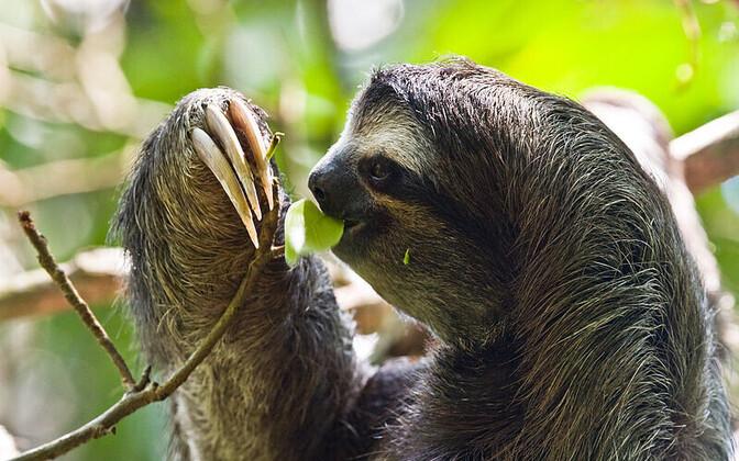 Tänapäeval elavad laiskloomad oma väljasurnud sugulaste kahvatud varjud.