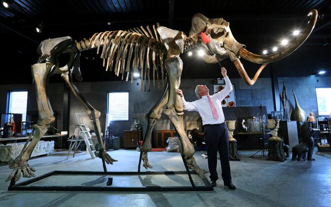Karvase mammuti skelett
