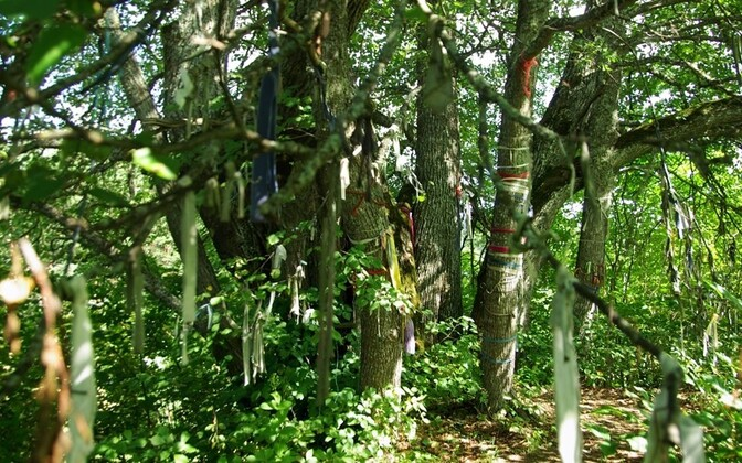 An ancient tradition alive: offerings of rags in a sacred linden grove.