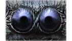 III koht. Hüpikämbliklase silmad. (20X)